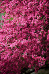 beautiful bright pink almond blossoms on branches