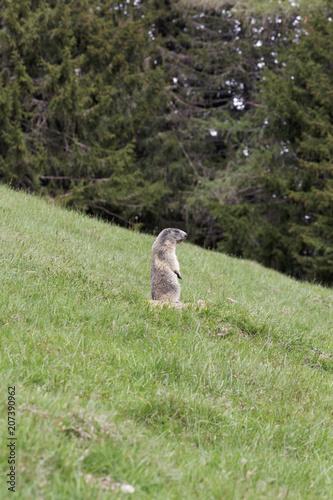 Plexiglas Kangoeroe Marmotte vigilante