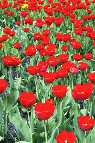 Fotobehang Rood Glade with a lot of red tulips