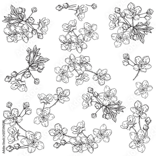 Fototapeta Cherry flowers.Sketch.Hand drawn outline vector illustration, isolated floral elements for design on white background.