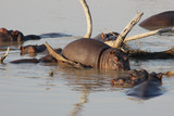 Hippos in the water by some branches - 207397934