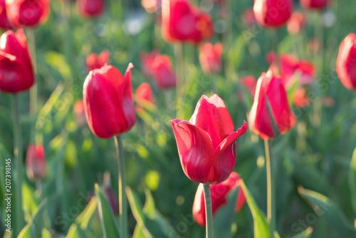 Fotobehang Tulpen red tulips grow on the ground
