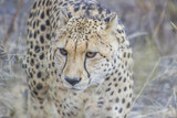Cheetah walking in the tall, dry grass - 207398575