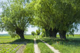 Village road between trees