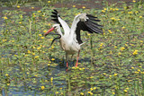 a white stork (Ciconia ciconia) catches and eats snake in the nature reserve kuehkopf, hesse, germany