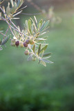 Ripe olives are on branch and tree. Green background with free space for text.