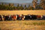 Beef cattle in pasture at sunset - 207406761
