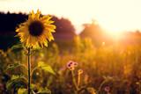 Sonneblume auf Feld im Sonnenuntergang