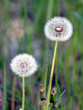 Fluffy dandelions flower with ripe seeds in a green grass field as background on summer sunny day vertical view closeup