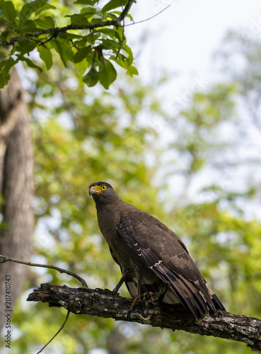 Canvas Eagle A Crested serpent eagle perched on ground inside Nagarhole Tiger reserve during a wildlife safari