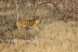A female tigress walking inside the forest of Bandhavgarh Tiger reserve during a wildlife safari