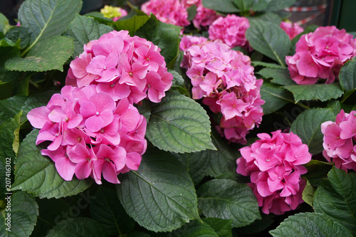 Fotobehang Hydrangea Beautiful pink hydrangeas in a pot. Cultivation of flowers.