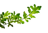 Lime leaf on white background