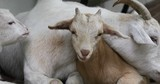 Close up pan of baby goats and mother goat laying together resting - 207425925