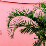 Palm on a pink. Tropical beach mood. Plant on pink concept - 207429168