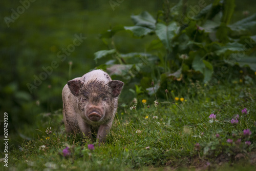 Ferkel, kleines Schwein, natur und artgerechte haltung auf einer alm