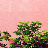Plants on  pink concept. Tropical green. Canary island - 207429730