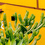 Cactus  Plants on the yellow concept Canary island - 207429992