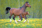 Bay Arabian mare and  Foal galloping together in spring meadow of yellow flowers. - 207431147