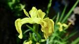 Iris, Wasserlilie, Sumpflilie