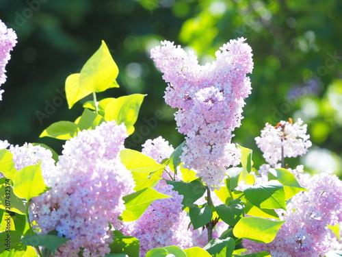 Fotobehang Purper かわいいライラックの花