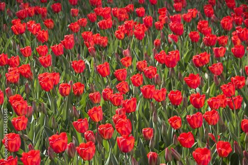Fotobehang Tulpen red tulips