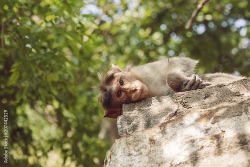 Fotobehang Aap Rhesus Macaque monkey close to Arunachala ashram at Tiruvannamalai, Tamil Nadu, India
