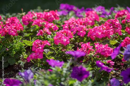 Pink geraniums in a summer garden.