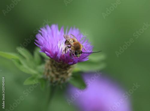 Fotobehang Bee bee over violet flower