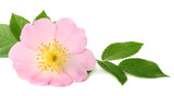 Dogrose flower with green leaf isolated on white background - 207456586