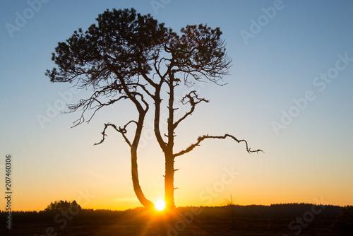 Fotobehang Zonsopgang Pinus sylvestris - My sunrise tree