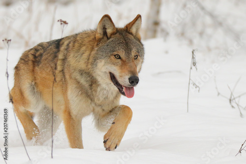 Fotobehang Wolf Wolf in winter. Gray wolf, Canis lupus.