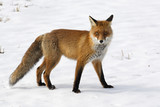 Red Fox. Vulpes vulpes. - 207461787