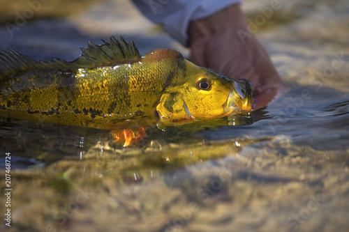 Fotobehang Kikker Exotic Peacock Bass