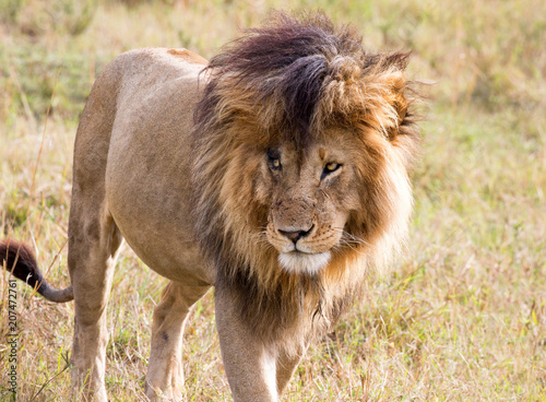 Canvas Lion Close-up of Scar, the famous male lion in the Masai Mara, Kenya