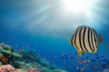 Colorful coral reef fishes of the Red Sea - 207480507