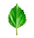 leaf isolated on white background. - 207485128