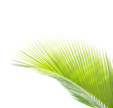 Green coconut leaf isolated on white background - 207487737