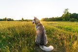 Husky dog on a green meadow on evening. Back view