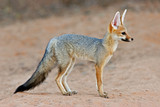 Cape fox (Vulpes chama) in natural habitat, Kalahari desert, South Africa. - 207492933