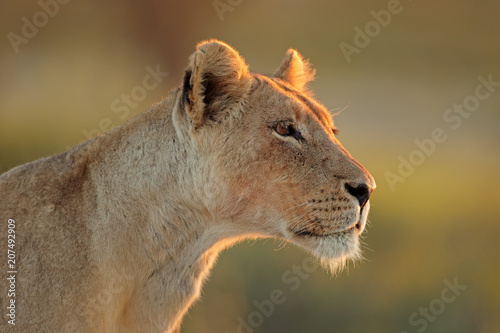 Canvas Lion Portrait of an African lioness (Panthera leo), Kalahari desert, South Africa.