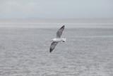 one sea gull bird flying over plain sea coast