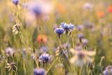 Cornflower in the field at dawn