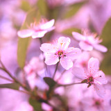 background of a flowering tree, white flowers tinted - 207510384