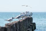 Sea gulls on old breakwater. - 207513543