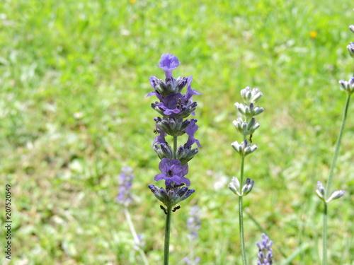 Aluminium Lavendel Fourmis