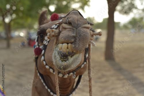 Fotobehang Kameel camel eating portrait in Rajasthan desert