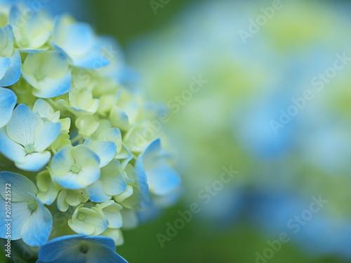 Fotobehang Hydrangea 色づき始めたアジサイの花