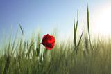 Poppy seed flower in a field of barley