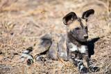 African Wild Dog puppy - 207534942